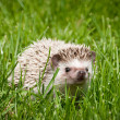 Hedgehog in the green grass — Stock Photo