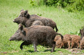 Wild boar with piglets — Stock Photo