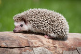 Hedgehog in the wild wood — Stock Photo