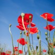 Stock Photo: Red Corn Poppy Flowers