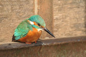 Kingfisher observing for prey — Stock Photo