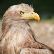 White tailed eagle / Haliaeetus albicilla — Stock Photo