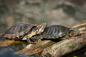 A very colourful Mexican red eared turtle — Stock Photo
