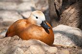 Duck in de dierentuin — Stockfoto