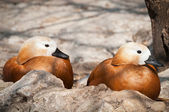 Two duck — Stock Photo