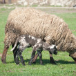 A sheep with cute little lambs on meadow — ストック写真