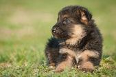 German shepherd puppies — Stock Photo