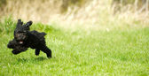 Toy poodle puppy romping. — Stock Photo