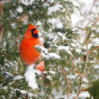Male northern cardinal in winter. - Stock Photo