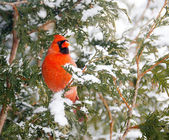 Male northern cardinal in winter. — Stock Photo