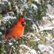 Male Northern Cardinal in the snow. — Stock Photo #8453957