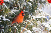 Male Northern Cardinal in the snow. — Stock Photo