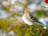 Female Common Redpoll in winter. — Stock Photo