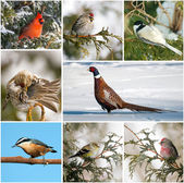 Winter birds collage. — Stock Photo