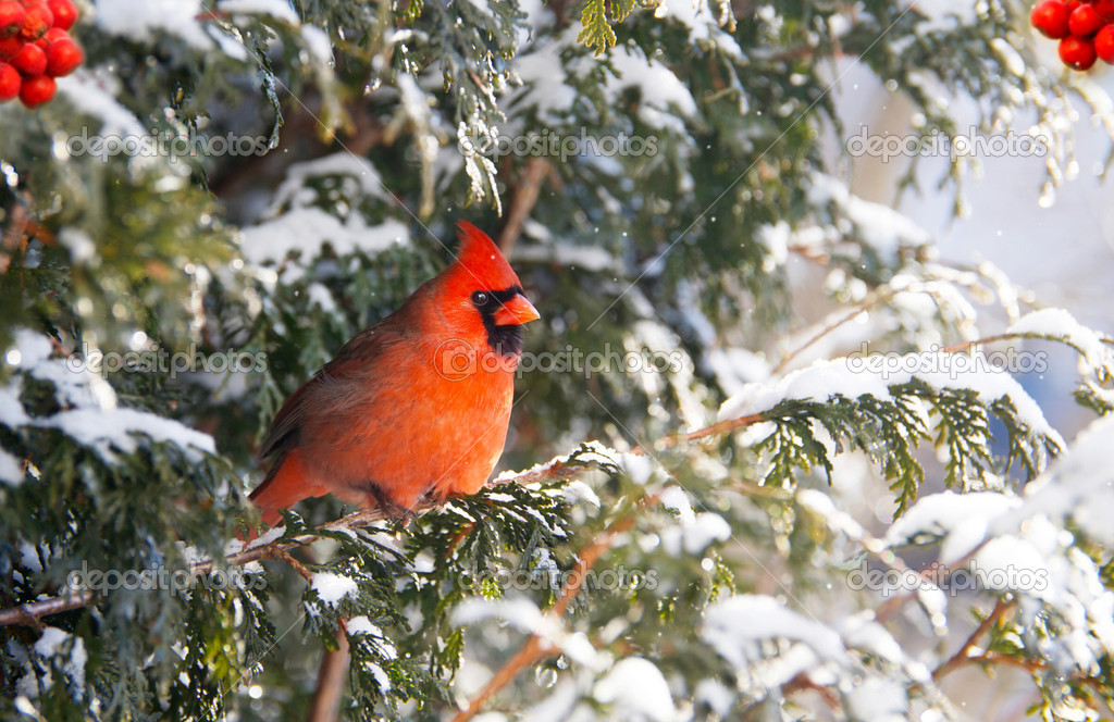 A beautiful, brightly colored male Northern Cardinal perched on a cedar hedge in the snow.  — Stock Photo #8453957