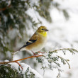 Stock Photo: Americgoldfinch in snowstorm.