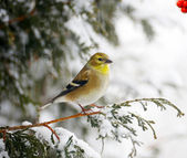 American goldfinch in a snowstorm. — Stock Photo