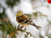 American gold finch in winter. — Stock Photo