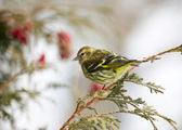 Pine siskin perched in winter. — Stock Photo