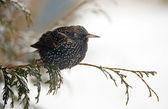 Europeiska starling på vintern. — Stockfoto