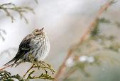 Pine siskin in winter. — Stock Photo