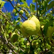 Lemon on a branch - Stock Photo