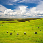 Meadow with flock of sheeps — Stock Photo