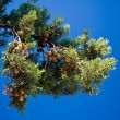 Pine-tree branches with cones — Stockfoto