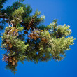 Pine-tree branches with cones - Stock Photo