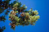 Pine-tree branches with cones — Stock Photo