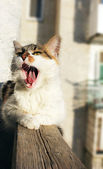 Cat yawns — Stock Photo