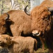 Stuffed aurochs — Stock Photo