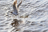 Seagull flies low to the water — Stock Photo