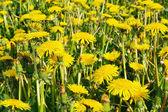 Summer dandelions — Stock Photo