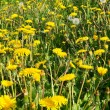 Stock Photo: Summer dandelions