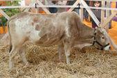 девочка смотрит корову зебу — Стоковое фото