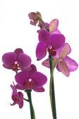 Phalaenopsis flowers (closeup) - View 2 — Stock Photo