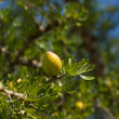 Argan tree — Stock Photo