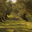 Olive trees — Stock Photo #9367394