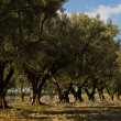 Olive trees — Stock Photo #9368632