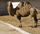 Bactrian camel, Moscow zoo — Stock Photo
