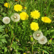 Yellow and white dandelions — Stock Photo