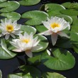 Three white water lilies — Stock Photo