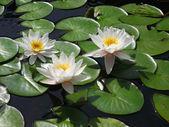 Three white water lilies — Stock Photo