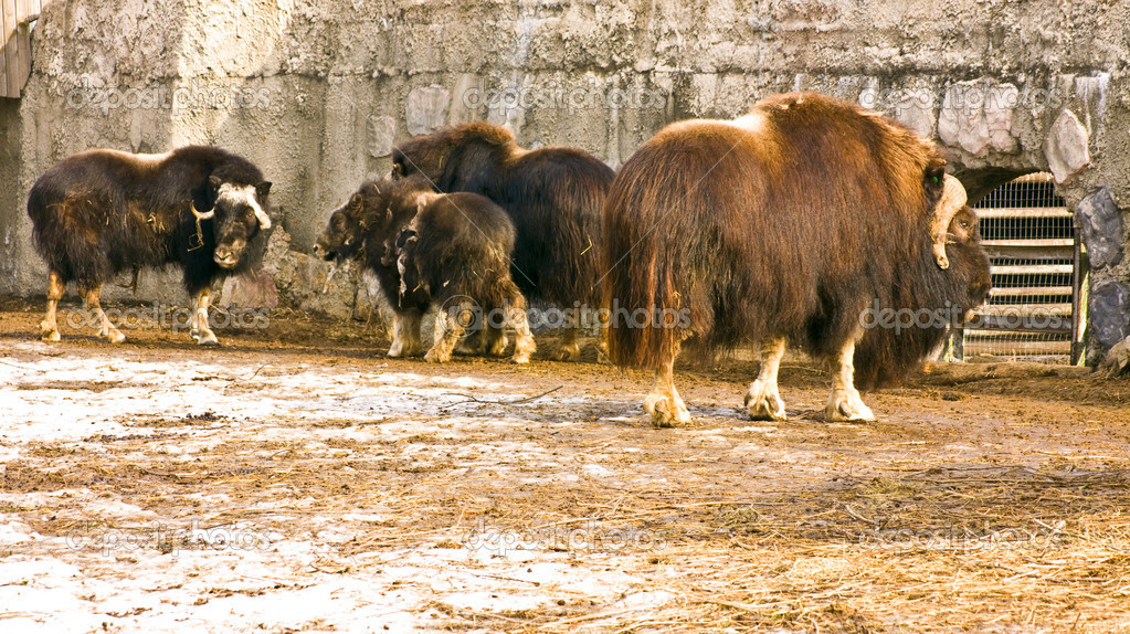 Few musk-oxes standing, recorded in Moscow zoo. — Stock Photo #10663739