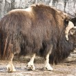 Musk-ox — Stock Photo #10674135