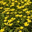 Stock Photo: Buttercups (yellowcups)