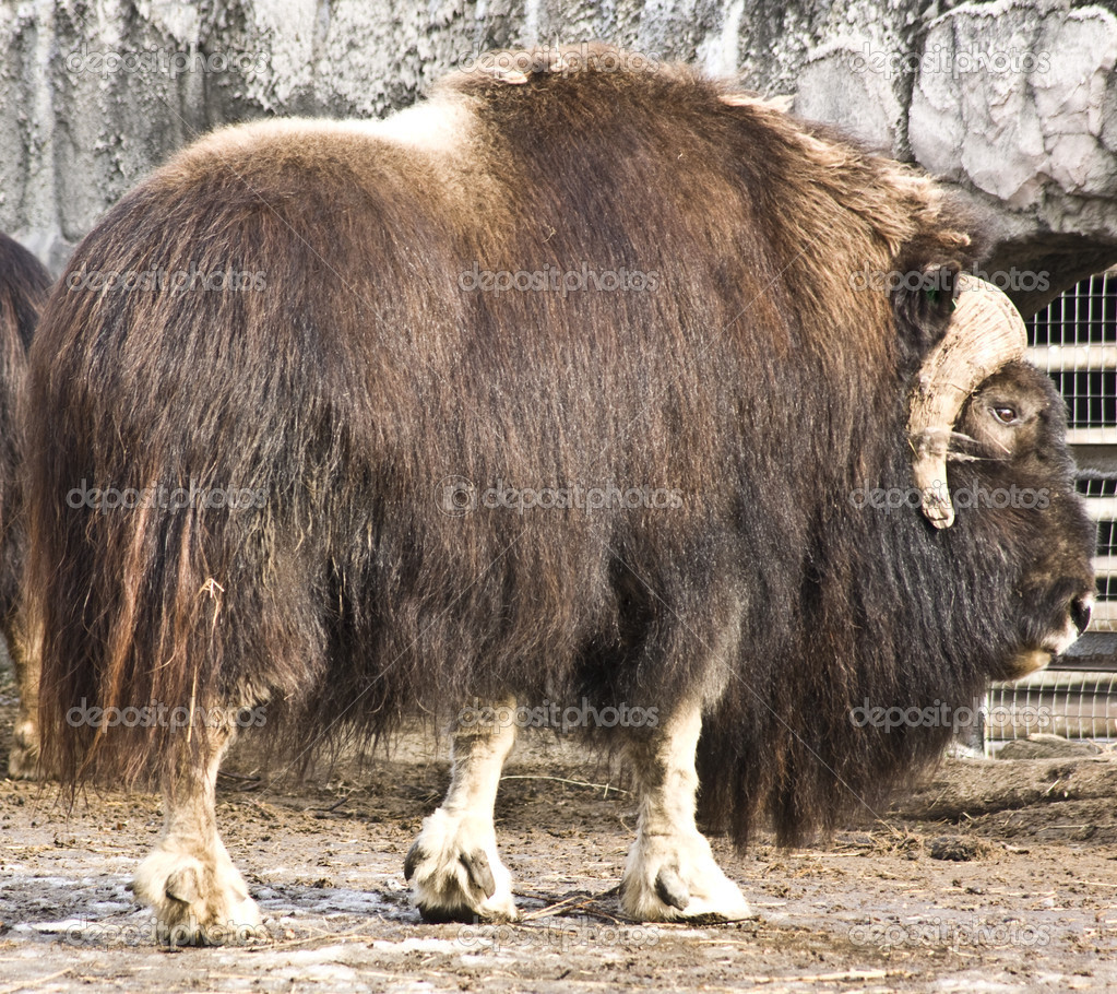 Big musk-ox, recorded in Moscow zoo, march.  Stock Photo #10674135