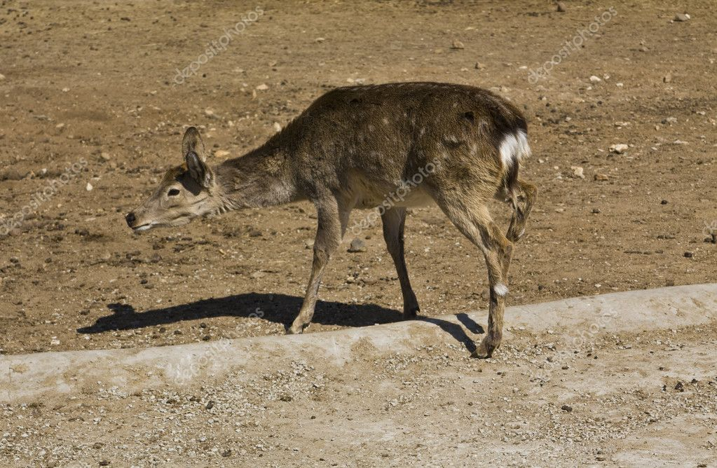Little baby deer standing, recorded in Moscow zoo. — Stock Photo #10674371