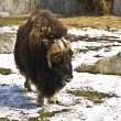 Musk-ox — Stock Photo #10683134